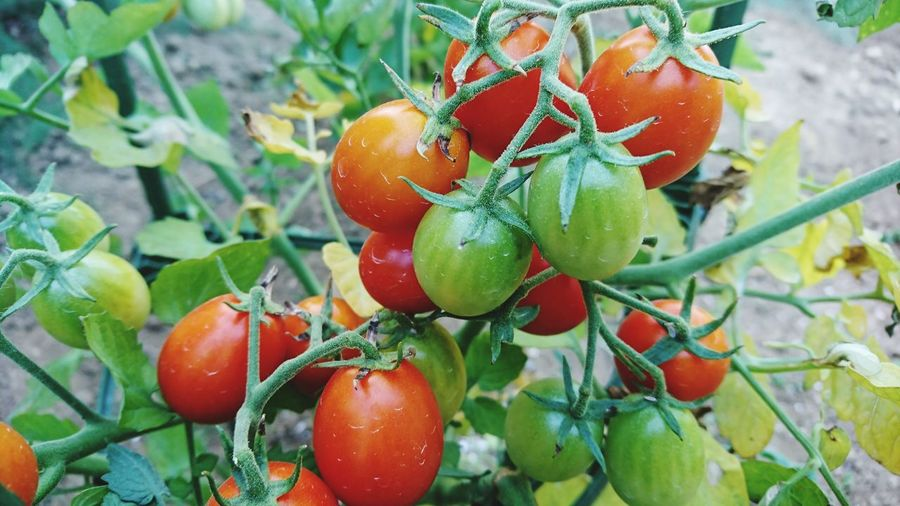 Close-up of tomatoes growing in vegetable garden