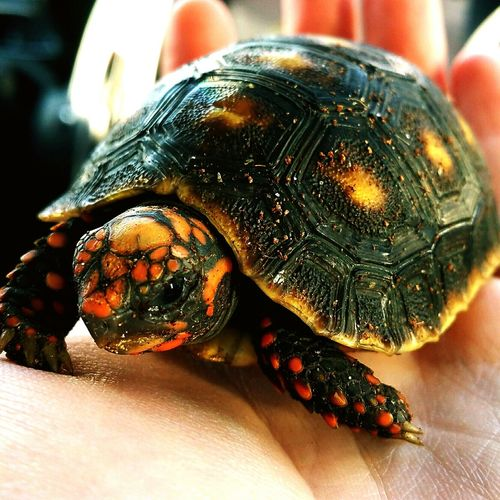 Tortoise Redfoot Turtle Tortoiseshell Tortoiselife First Eyeem Photo