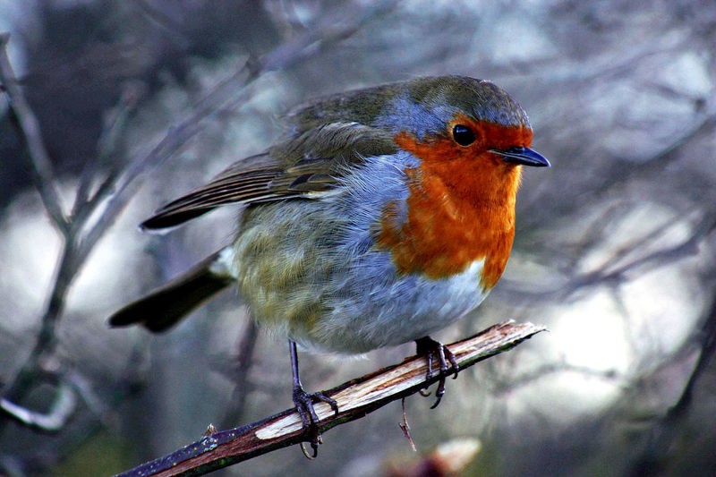 Christmas Robin Christmas Feathers Langland Bay Swansea Wales Bird Close-up Day Nature No People One Animal Outdoors Perching Robin Redbreast Uk