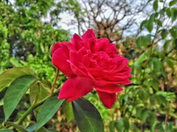 Flowerrose Nature Read Rose Beauty In Nature Kompasnusantara Kompasgramedia Isntaphoto Instagallery EyeEm Best Shots EyeEm Nature Lover EyeEm Eyeemphotography Eyeemphoto EyeEm Team EyeEm Market © EyeEm Flower This Photo Sale INDONESIA Bintanisland