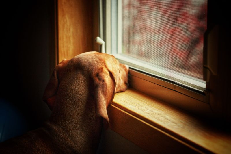 Anticipation One Animal Pets Domestic Animals Dog Animal Themes Looking Through Window Mammal Window Indoors  Home Interior Curtain Blinds Close-up No People Day Fresh On Market 2017