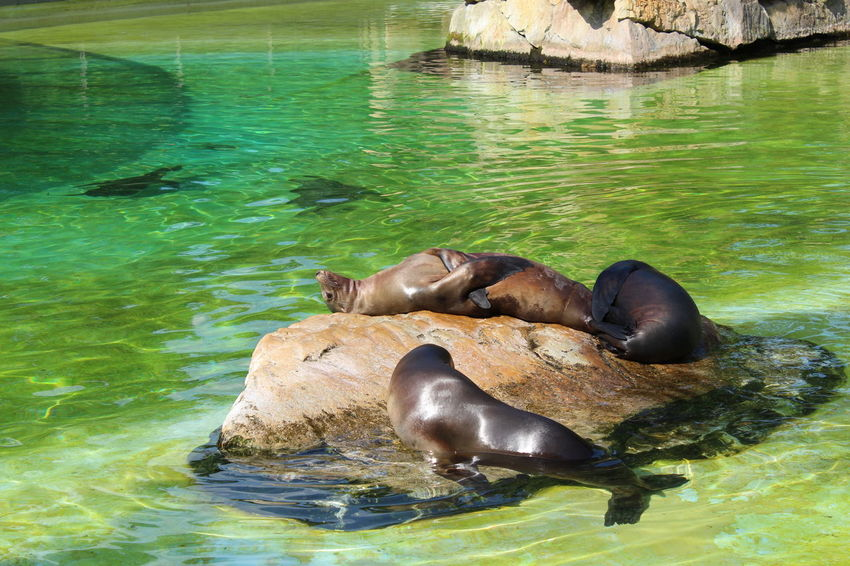 Relaxing No People Outdoors Berliner Zoo Seelöwe Chilling Summertime Lazy Day Water Sea Lion Sea Life Animal Themes