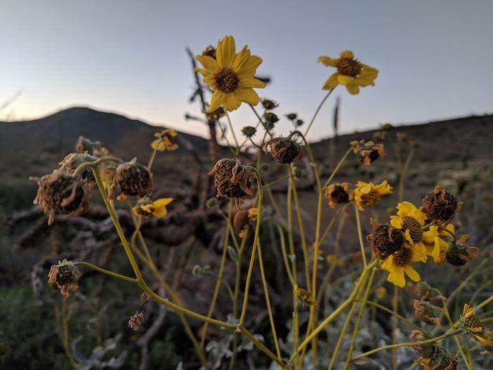 Wildflowers at sunset Flower Head Flower Desert Close-up Plant Landscape Wildflower In Bloom Blooming