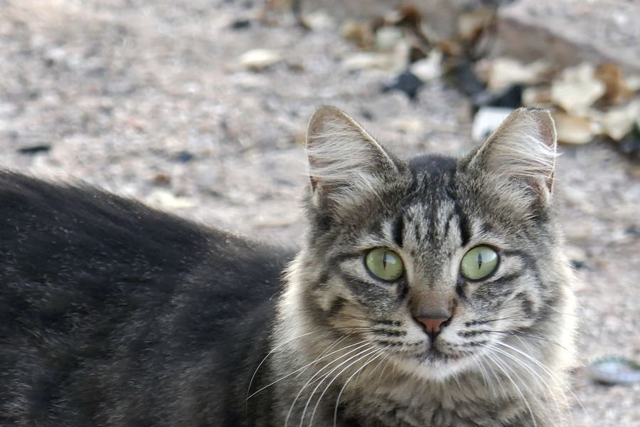 Domestic Cat Pets Domestic Animals One Animal Domestic Cat Mammal Animal Themes Feline Animal Portrait Focus On Foreground No People Close-up Day Looking At Camera Animal Body Part Animal Head