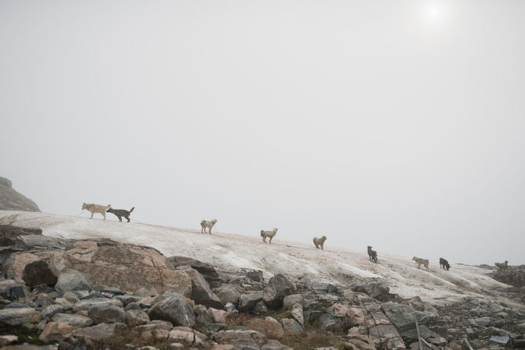 Low angle view of dogs on mountain against clear sky