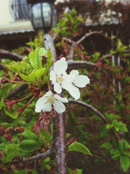 Personal photo I took White Flower Hd Photo Brooklyn