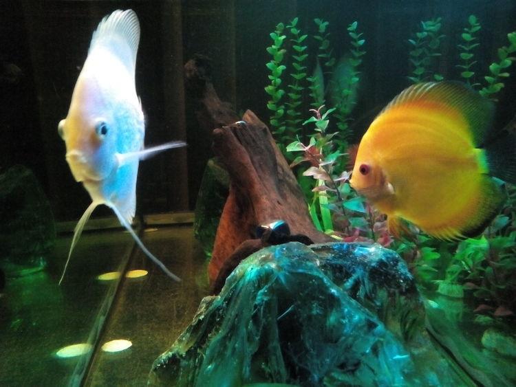 Home Aquarium Discusfish Hello World