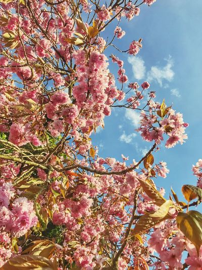 Flower Beauty In Nature Blossom Growth Tree Nature Branch Fragility Pink Color Freshness No People Day Low Angle View Outdoors Blooming Sky Iphone7 IPhone Photography IPhoneography Iphonephotography IPhone Eye4photography  EyeEm Gallery EyeEmBestPics EyeEm