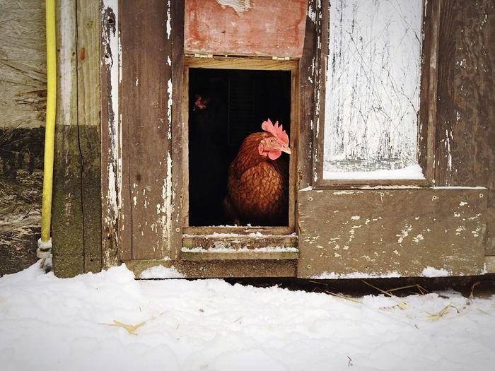 the Chicken named Socke (sock) Huhn Iphoneonly EyeEmBestPics Iphonephotography EyeEm Nature Lover EyeEm Best Shots - Nature Animals Snow ❄ Snow Taking Photos Winter