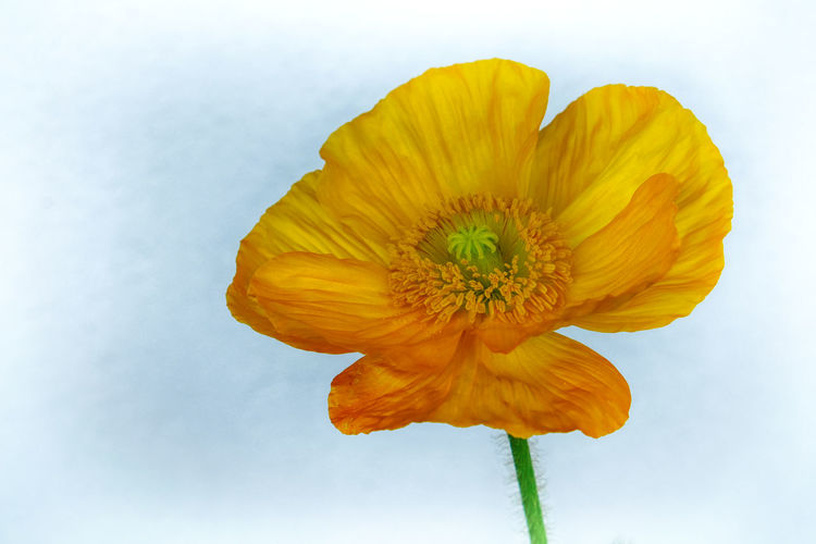 Hdr Edit Copy Space HDR Single Flower Yellow Flower Beauty In Nature Close-up Energy Flower Flower Collection Flower Head Flowering Plant Flowers Focus On Foreground Fragility Nature Neutral Background No People Petal Poppy Poppy Flower Spring Flowers Studio Shot Vulnerability  Yellow Yellow Poppy