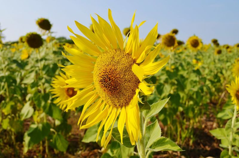 Flower Yellow Plant Growth Flower Head Sunflower Nature Close-up Summer Outdoors Clear Sky Sky