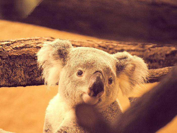 Portrait of koala in forest