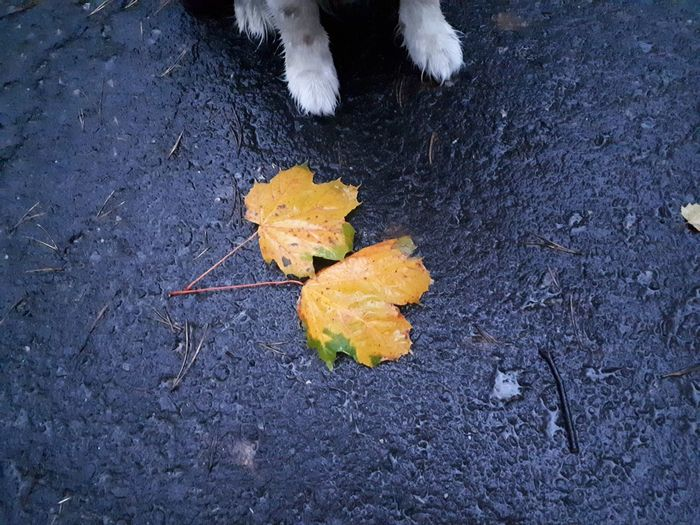 Leaf Autumn Outdoors No People Day Nature Close-up Beauty In Nature Paws Paw Dog Leaves Autumn Leaves Jesień Liscie łapka Pies Border Collie Perspectives On Nature