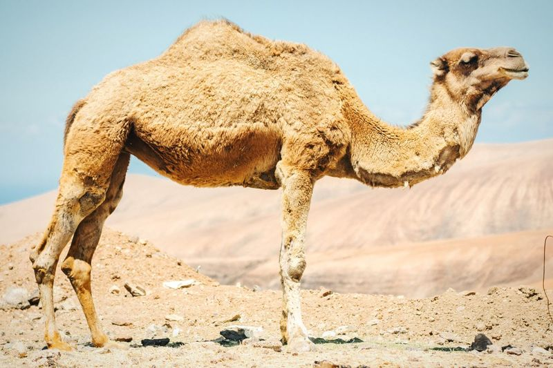 Side View Of Camel Standing On Field
