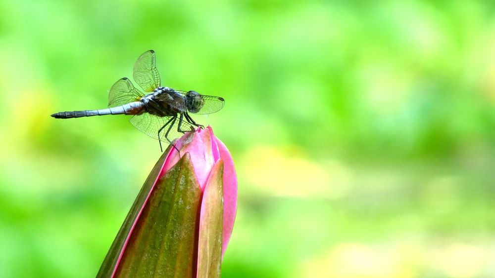 Nature Dragonfly Dragonfly Nature Insects Insect Insects  Insect Photography Insect Photo Insectonaflower Focus On Foreground Close-up Nature Perching Dragonfly Beauty In Nature Outdoors Zoology Flower Buds Flower Bud Pointandshoot PointandShot