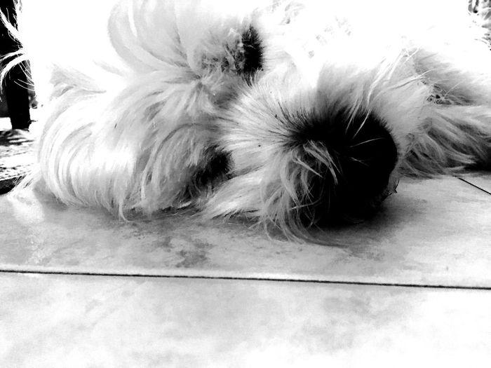 Highkey Dog Love West Highland White Terrier Black And White B&w EyeEm Best Shots Picoftheday Monochrome Photography