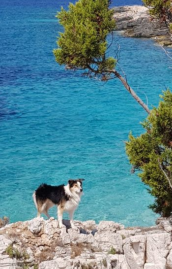 Dog Animal Themes Dogs Collie Lassie Dog On The Beach Beach Tranquility Korčula Cliff Clear Sky Summer Beauty In Nature Sea Rock - Object Paradise Beach Happyness Travel Destinations Health Spa Kroatia Blue Sky Paradise Blue Water Love