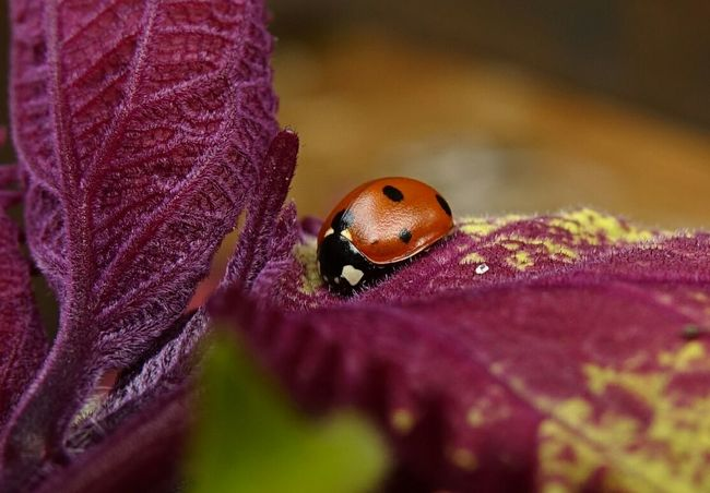 Ladybug Coleus Details Of Nature Close Up Beauty In Nature EyeEm Best Shots Macro World Nature Lover Eye4photography  Macro Nature Insects_macro Macro Insects  Eye4photography  No People Close-up Insect