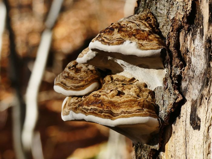 Close-up of mushrooms on tree trunk