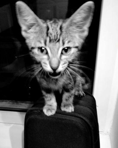 Pet Portraits Fierce Kitten Feline Whisker Looking At Camera Cat