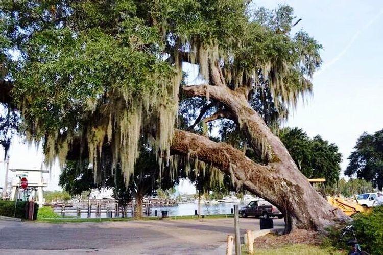 Beautiful 100+ year old live oak tree that broke during a storm. Live Oak TTreesBeautiful Nature Oak Trees Nature Beautiful Day Louisiana Beautiful
