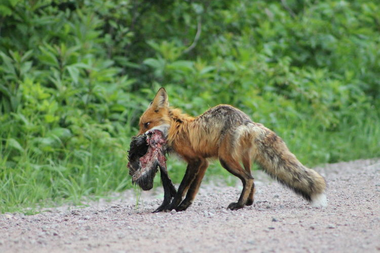 Fox on dirt road