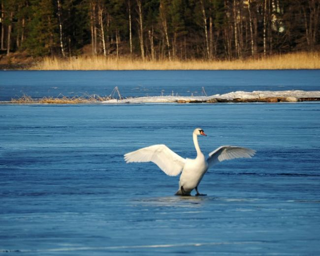 Bird Animals In The Wild Animal Themes Water Spread Wings Nature Animal Wildlife Beauty In Nature Swan Swan On Ice Sea Bird Sunny Winter Day Animal One Animal Scenics No People Day Outdoors Nature Beautiful Nature