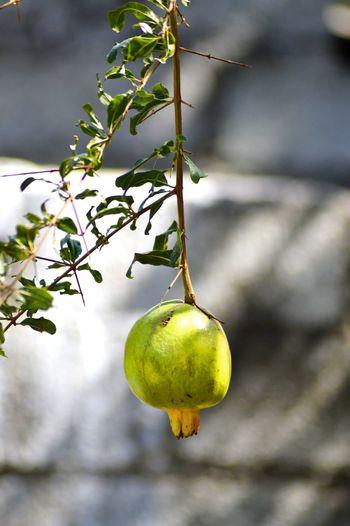 Tree Branch Fruit Hanging Citrus Fruit Yellow Leaf Mediterranean Food Agriculture Ripe