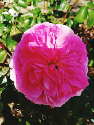 Rose🌹 Summerburst Summerblooms NaturalView Check This Out Natures Diversities Beautiful Rose ♡ Beauty In Nature