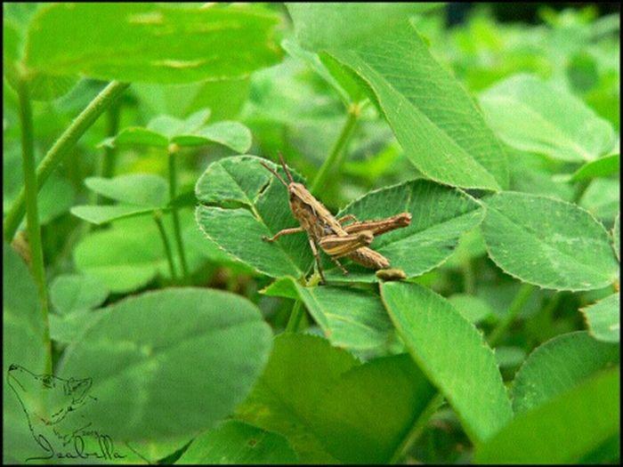кузнечик палевый клевер лето трава насекомое Green Summer