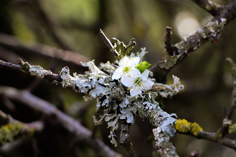 Beauty In Nature Branch Close-up Cold Temperature Day Flower Flower Head Focus On Foreground Fragility Freshness Growth Nature No People Outdoors Snow Springtime Tree Twig White Color Winter