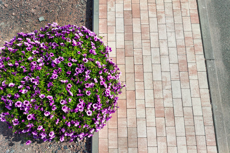 High angle view of purple flowering plants on footpath