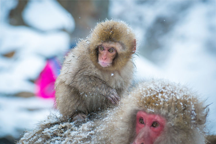 Snow monkey in a hot spring, Nagano, Japan. Animal Family Animal Wildlife Animals In The Wild Care Child Cold Temperature Focus On Foreground Group Of Animals Hair Japanese Macaque Mammal People Primate Snow Snowing Two Animals Vertebrate Winter Young Animal