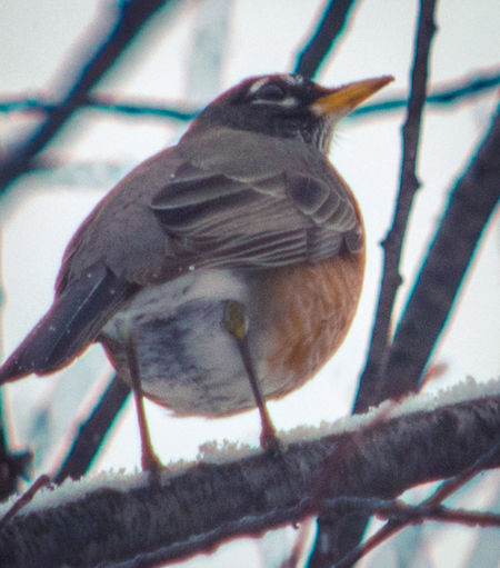 Animal Themes Bird Perching American Robin Nature My Point Of View Wildlife & Nature Animal Photography Wildlife Photography Wintertime Winter Colors Animal Wildlife Beauty In Nature Nature Winter