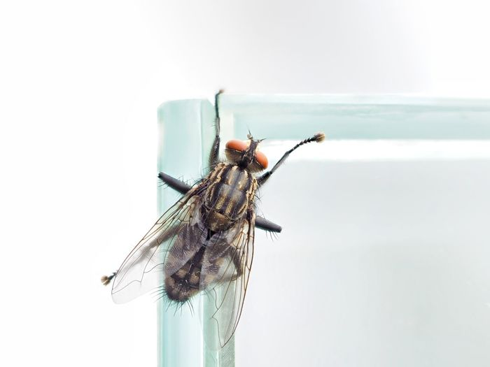 Close-up of housefly on glass against white background