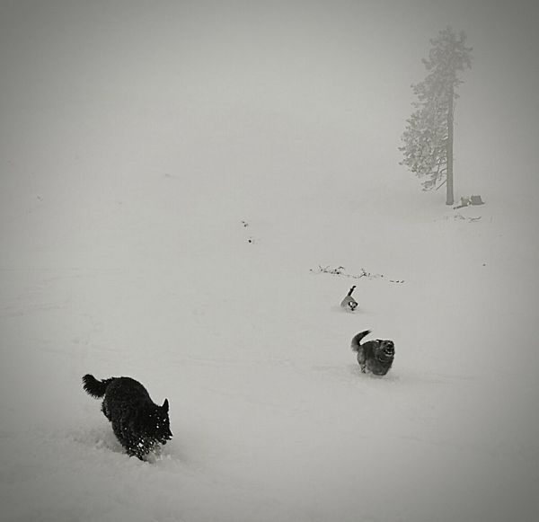 Dogs running at dobratsch Bird Animal Wildlife Animals In The Wild Animal Themes Snow Cold Temperature Winter No People Nature Outdoors Beauty In Nature Dog Speed Snow Fun Dog Life Hrvatsky Ovcar Croatian Sheepdog Welcome To Black The Great Outdoors - 2017 EyeEm Awards Dogs Of EyeEm Dogs EyeEm Selects Running Free Enjoying Life Chiens Mondains Black And White Friday