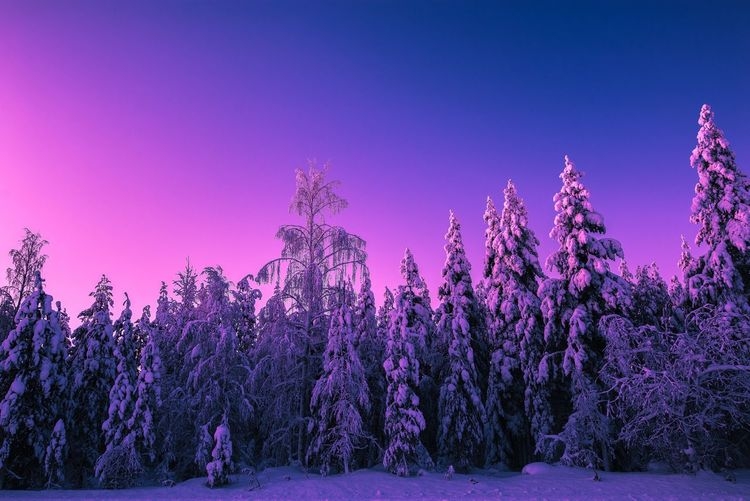 Pastel colors and beautiful winter forest before the sunrise Tree Snow Winter Beauty In Nature Sky Cold Temperature Tranquil Scene Tranquility Nature Landscape No People Forest Blue Clear Sky Purple Outdoors Lapland, Finland Travel Scenics Freshness Sunrise Photography Morning Sunlight Pastel Colors