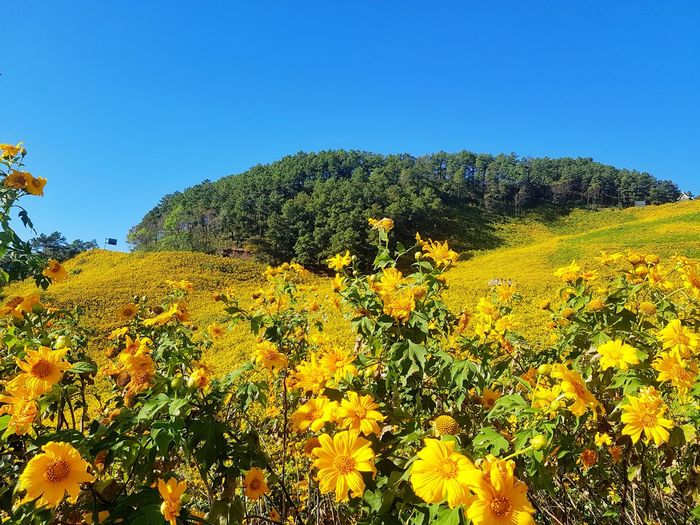 Yellow flowering plants on field against clear sky