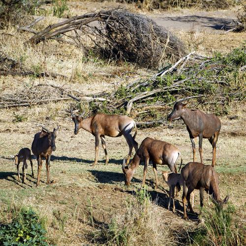 Antelopes grazing on field