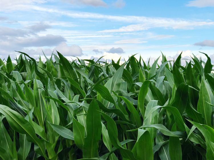 Corn Growth Agriculture Field Sky Crop  Nature Cloud - Sky Day No People Rural Scene Green Color Outdoors Cereal Plant Beauty In Nature Scenics Close-up Freshness Food