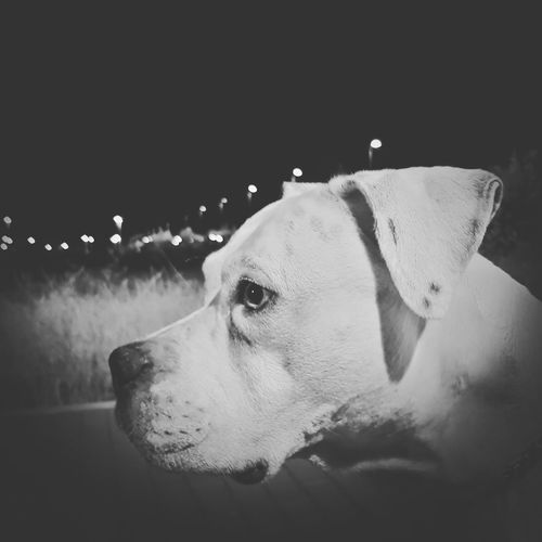 dog Perro American Staffordshire Terrier American Stanford  American Staff Pittbulls Perros  Perros❤ Dog Pets One Animal Domestic Animals Animal Themes Mammal