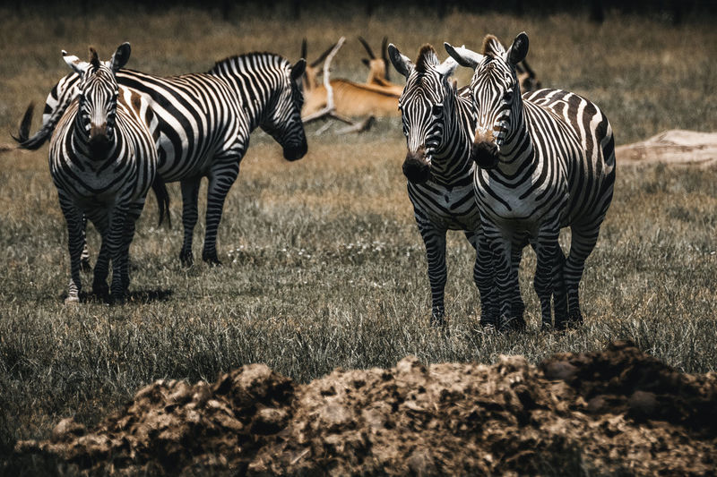 Zebras standing on land