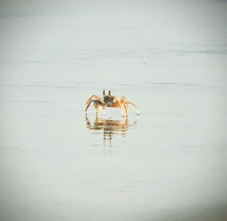 Animal Wildlife Nature Outdoors Water Reflection No People Animal Themes BYOPaper! The Great Outdoors - 2017 EyeEm Awards Crab Beach Sand Sunset Crab On The Beach Seashore Maharashtra Sindhudurg Tarkarli Beach Sindhudurgh, India The Street Photographer - 2017 EyeEm Awards EyeEmNewHere Live For The Story The Photojournalist - 2017 EyeEm Awards Sommergefühle EyeEm Selects EyeEmPaid Perspectives On Nature