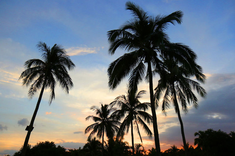 Coconut trees are silhouetted as the sun sets in Batangas, Philippines, just south of Manila, Philippines Sunset Silhouettes Tropical Paradise Beauty In Nature Cloud - Sky Coconut Trees Countryside Day Growth Low Angle View Nature No People Outdoors Palm Frond Palm Tree Scenics Silhouette Sky Sunset Tranquil Scene Tranquility Travel Destinations Tree Tree Trunk Tropical