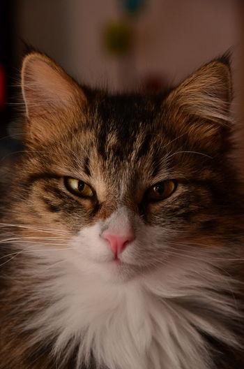 Clark Cat Kedi Vaşak Yakışıklı No Filter Wild