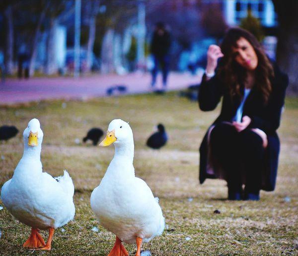 Ducks on field