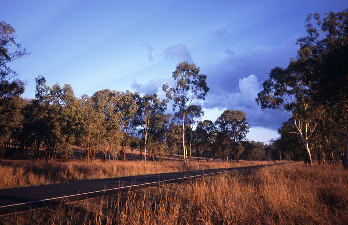 sunset in the queensland bush Australia Forest Grass Grasses Gum Gum Trees Gums Landscape Light Nature Orangedry Outdoors QLD Queensland Road Tranquil Scene Trees Wood WoodLand Woods