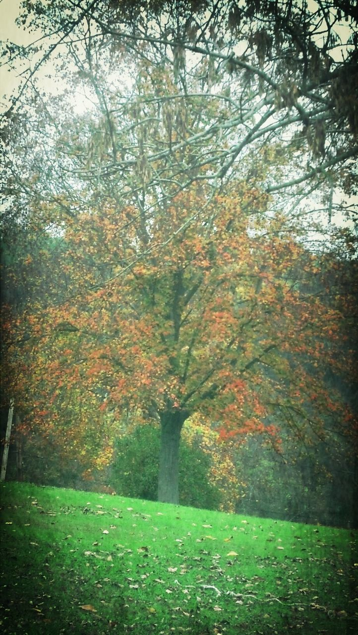 tree, autumn, change, tranquility, beauty in nature, growth, tranquil scene, branch, nature, season, scenics, green color, park - man made space, grass, leaf, lush foliage, tree trunk, idyllic, landscape, day