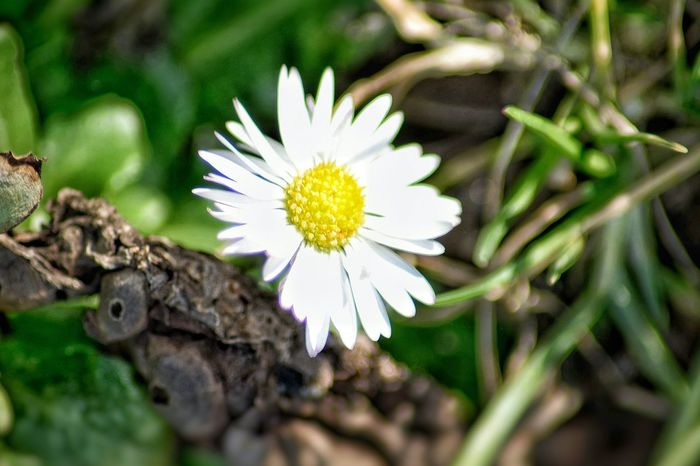 Daisy Flower Nature White Color Beauty In Nature Growth Flower Head Freshness Petal Fragility Outdoors Pollen Close-up Plant No People Day EyeEm Flower Lovers EyeEm Nature Lover White Flower I LOVE PHOTOGRAPHY For The Love Of Photography I Love Nature Beauty In Nature Nature