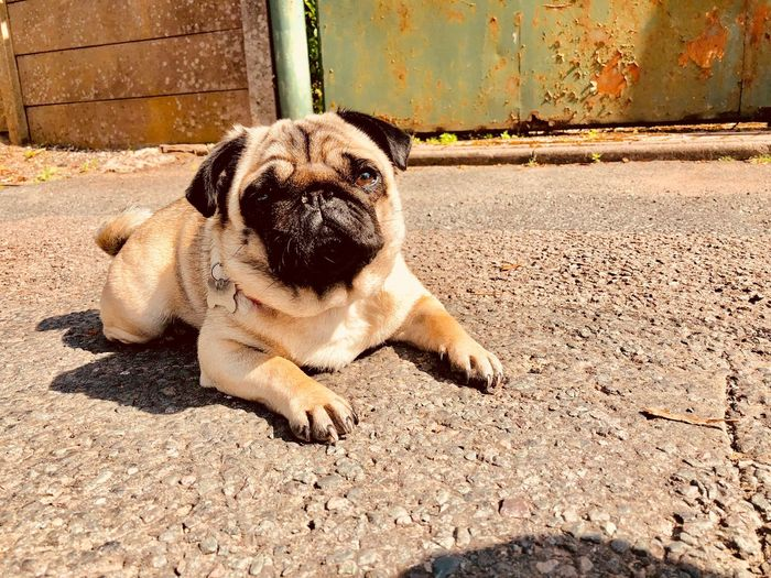 Street Pug One Animal Animal Themes Pets Mammal Domestic Animal Canine Portrait High Angle View Day Dog Relaxation Sunlight Domestic Animals No People Lying Down Sitting Vertebrate Outdoors Nature